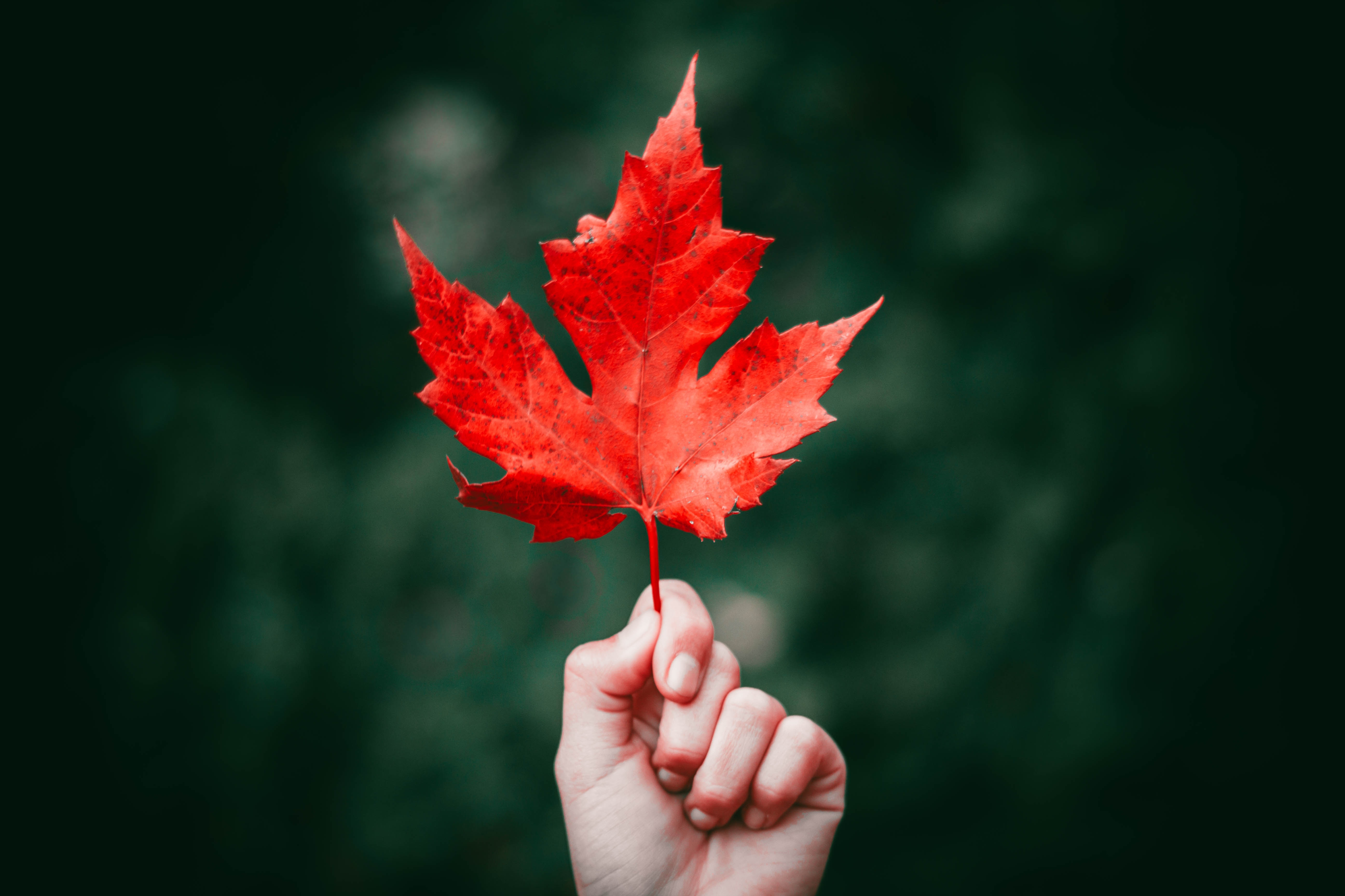 picture of a maple leaf